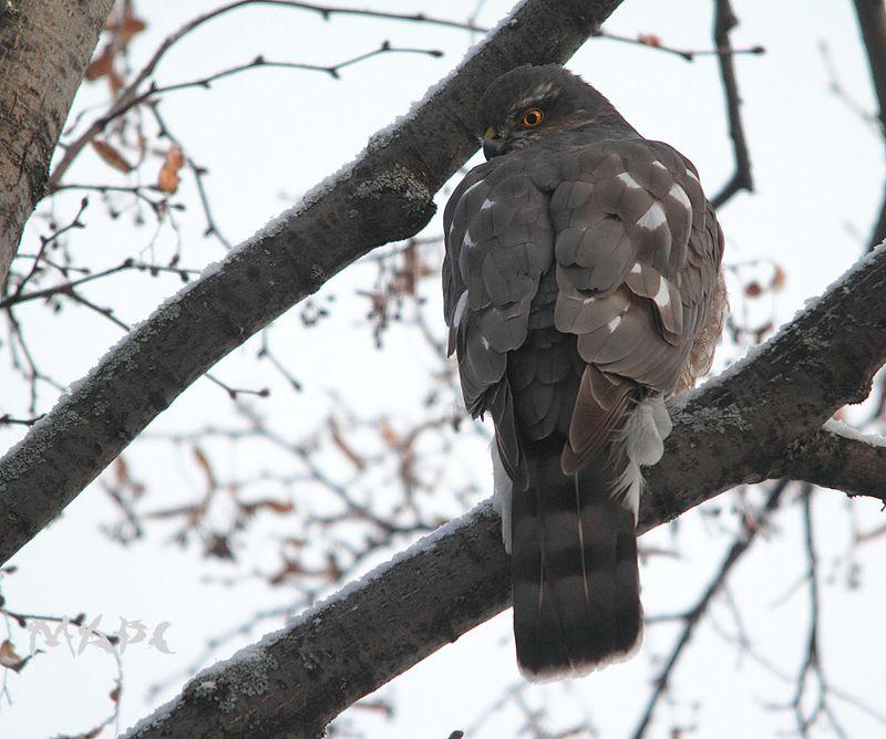 животные птицы хищник ястреб-перепелятник зима Ястреб-перепелятникphoto preview