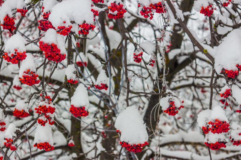 рябина, снег, зима photo preview