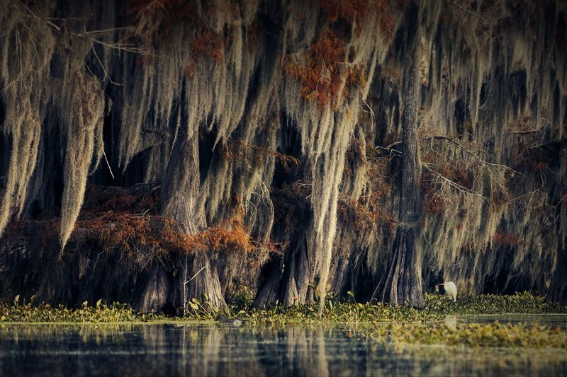 кипарисовые болота cypress swamps Кипарисовое спокоище - 3photo preview