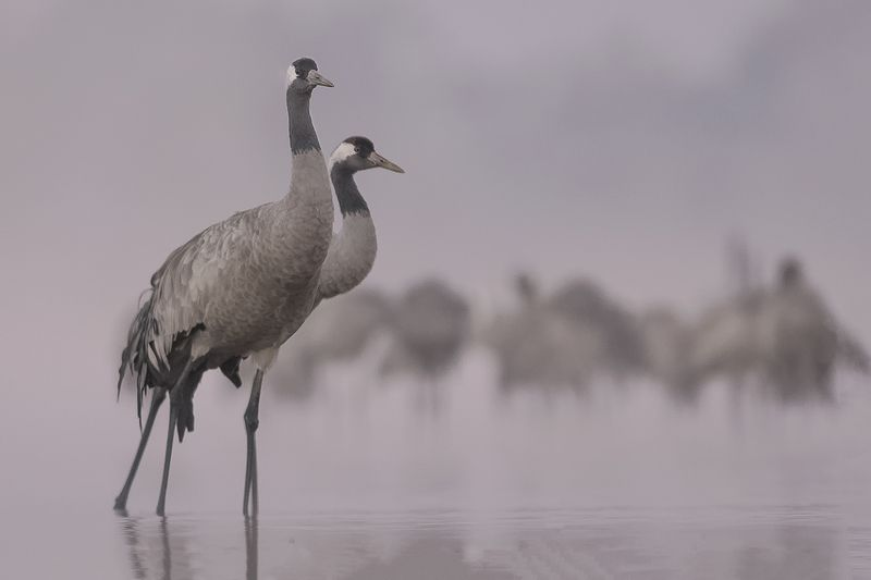 кран, grus grus, crane, żuraw Cranesphoto preview
