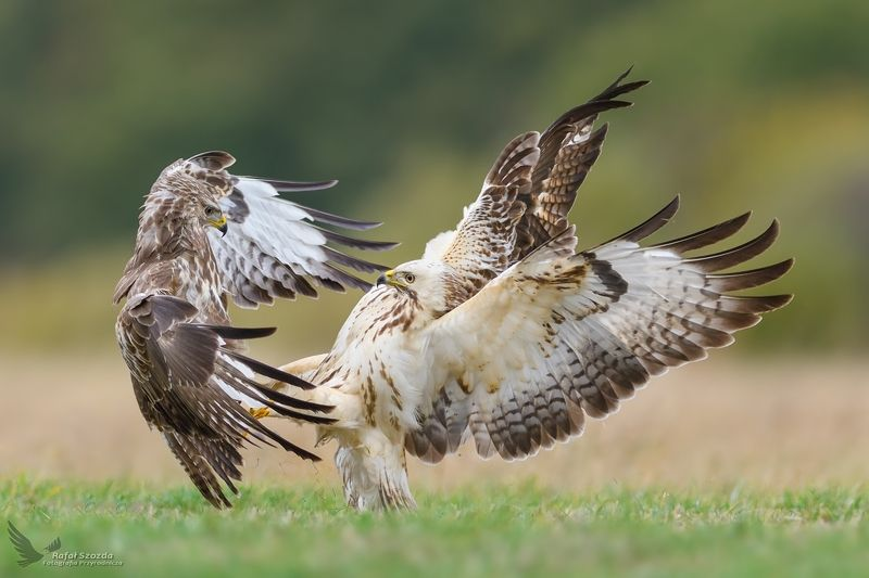 birds, nature, animals, wildlife, colors, meadow, fight, green, flight, lens, nikon, nikkor, lubuskie, poland Myszołowy, Common Buzzard (Buteo buteo) ... 2018rphoto preview