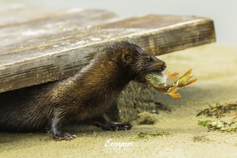 mink, european mink, prey, fish, animals, nature, wildlife, норка с добычей, норка, животные Норка с добычейphoto preview