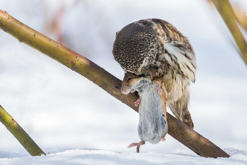 воробьиный сыч, полевая мышь, сова тихо на ушко я тебе прошепчуphoto preview