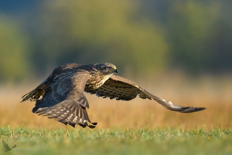 birds, nature, animals, wildlife, colors, meadow, flight, sunlight, sunrise, nikon, nikkor, lens, lubuskie, poland Myszołów, Common Buzzard (Buteo buteo) ...photo preview