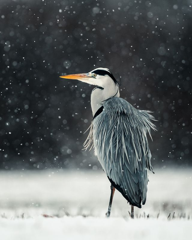 heron, czapla, wildlife, birds, winter, snow Grey Heronphoto preview