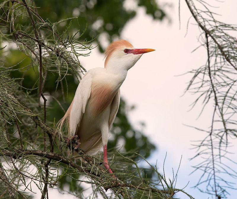 египетская цапля, cattle egret, heron, egret, florida Египетская цапля -Cattle Egretphoto preview