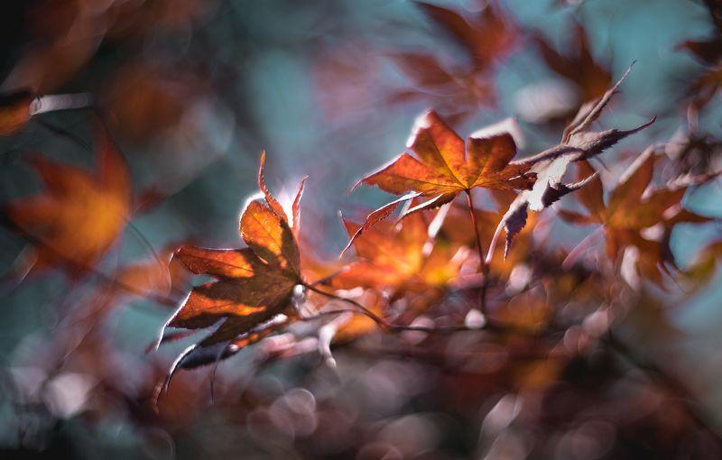 природа, макро, осень, листья клена, боке Стоял ноябрь уж у двораphoto preview