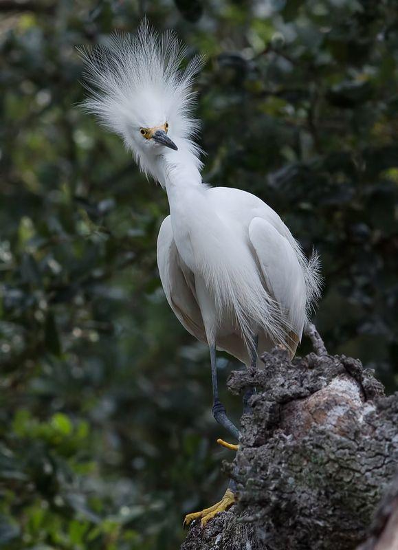 американская белая цапля, snowy egret, heron, florida, цапля Американская белая цапля - Snowy Egretphoto preview