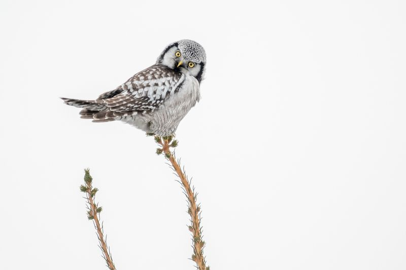 Ястребиная сова, Сибирь, зима, декабрь, птицы, совы, 2018 Кто там?photo preview