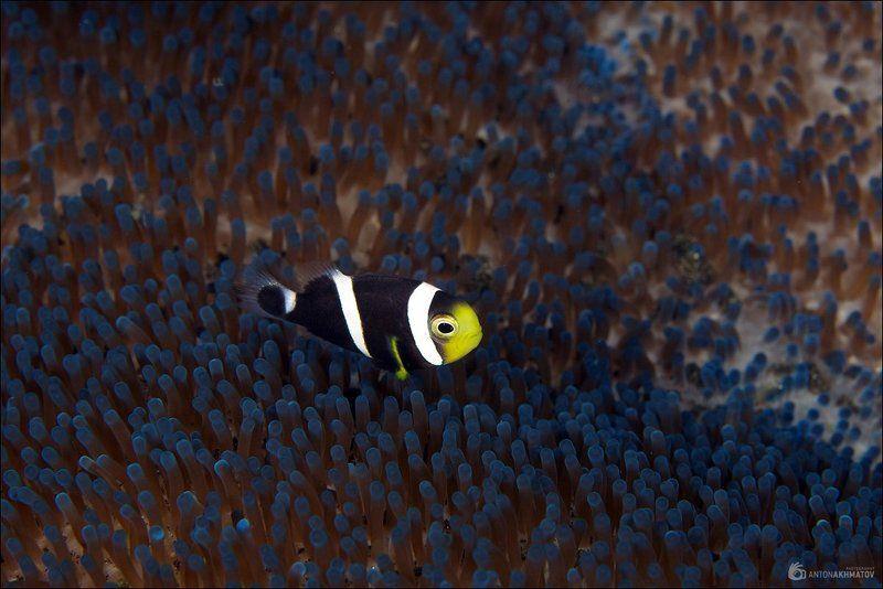 bali, indonesia, underwater, clown, fish, anemone, blue Чёрныйphoto preview