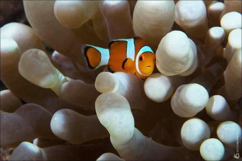 clown fish, underwater, anemone, malasia, sipadan ***photo preview