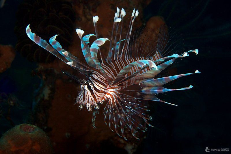 underwater, bali, lion, fish Lionphoto preview