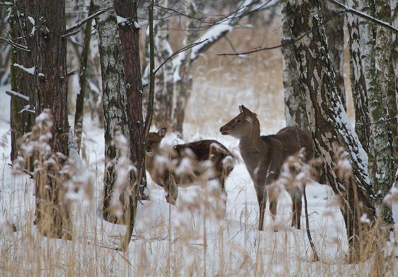 олень, олени, пятнистый олень Однажды утром Рождестваphoto preview