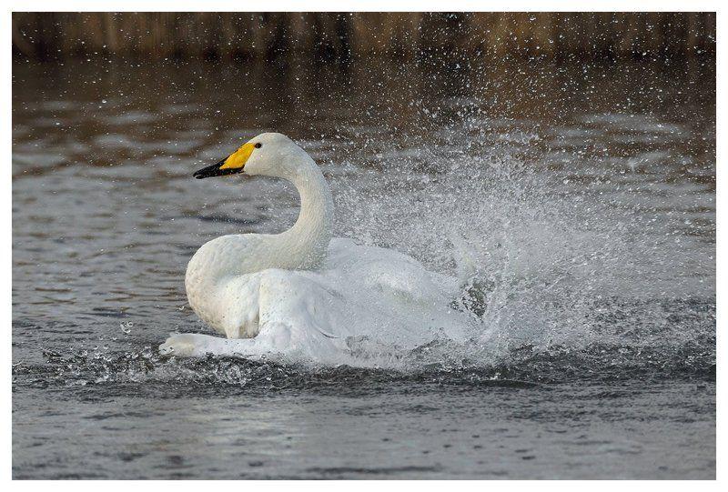 лебедь кликун, cygnus cygnus, купание, нидерланды Лебедь-птицаphoto preview