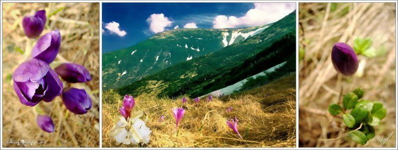 весна, крокусы, карпаты FairyTalesphoto preview