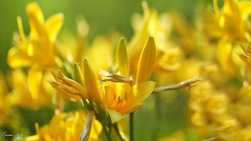 цветы, природа, лето Жёлтые...photo preview