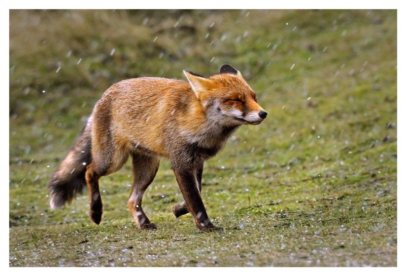 лиса , vulpes vulpes, непогода, дюны, нидерланды Полгода плохая погода...photo preview