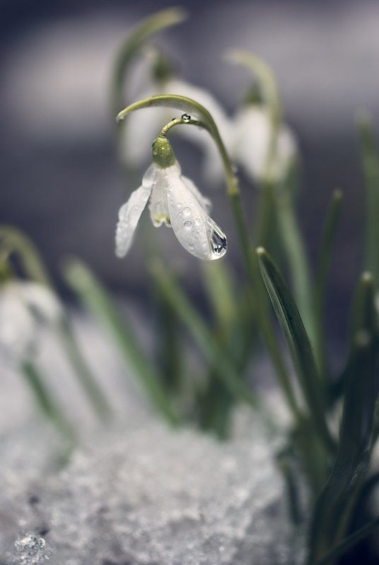 подснежник, галантус, весна С праздником, милые барышниphoto preview
