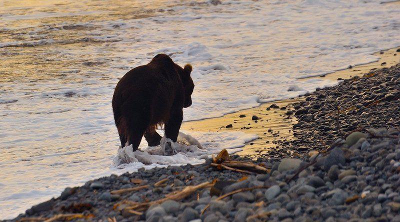 медведь, камчатка, кроноцкий заповедник Вечерняя прогулка.photo preview