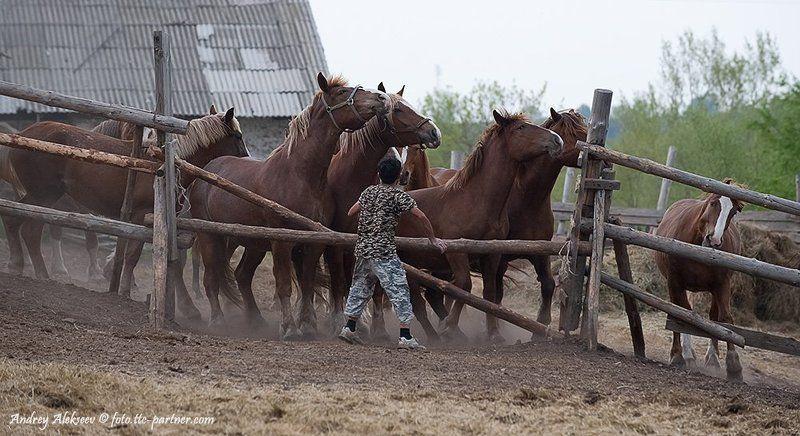конюшня, кони, конюх, бег Путь к свободеphoto preview