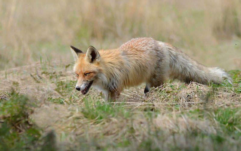 обыкновенная, лисица Взглядphoto preview
