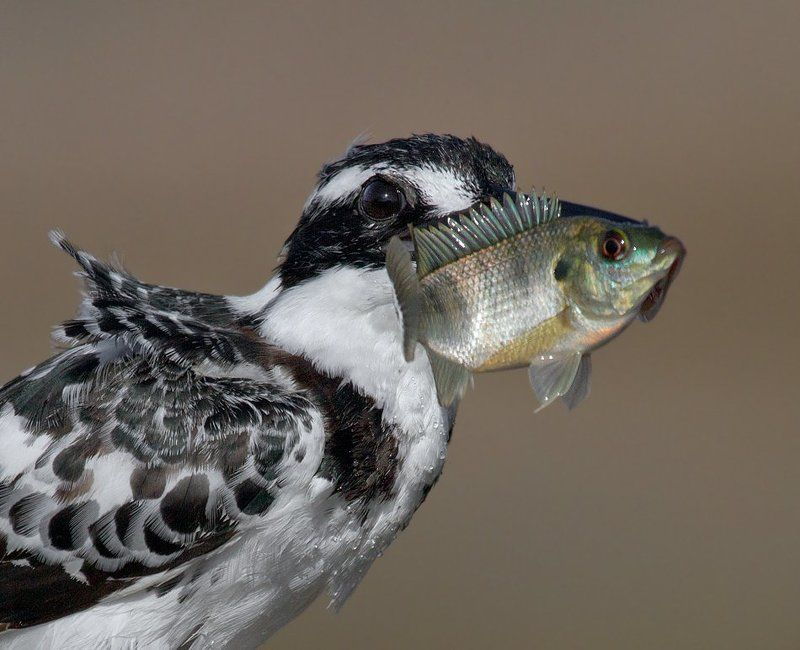 малый, пегий, зимородок на копьеphoto preview