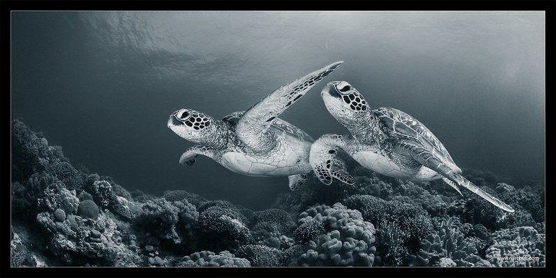черепаха, риф,кораллы,море,синий,тон,близнецы,пара Над рифомphoto preview