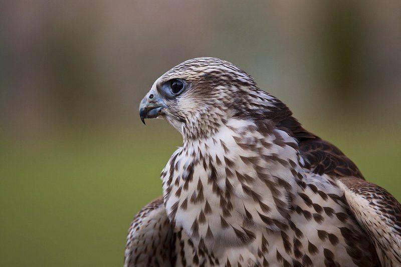 сокол, хищник, птица Балобанphoto preview
