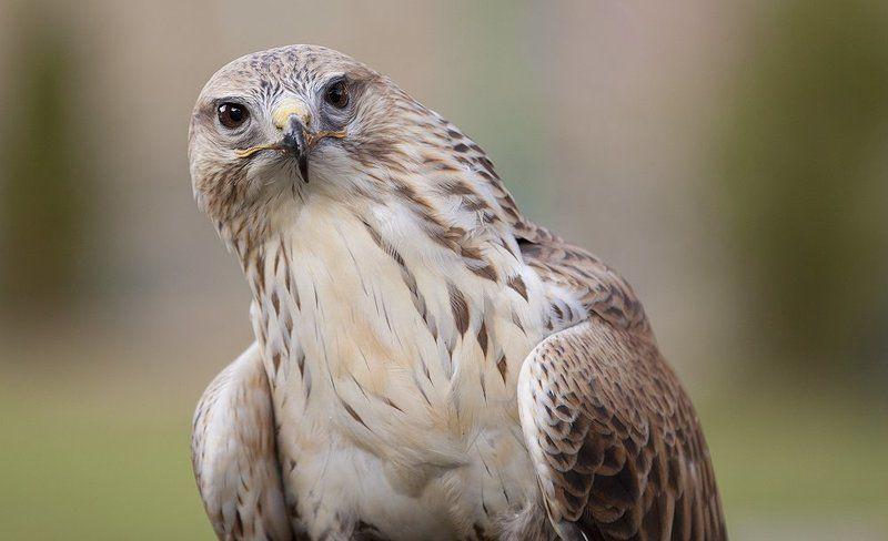 птица, хищник Очень любопытный птиц.photo preview