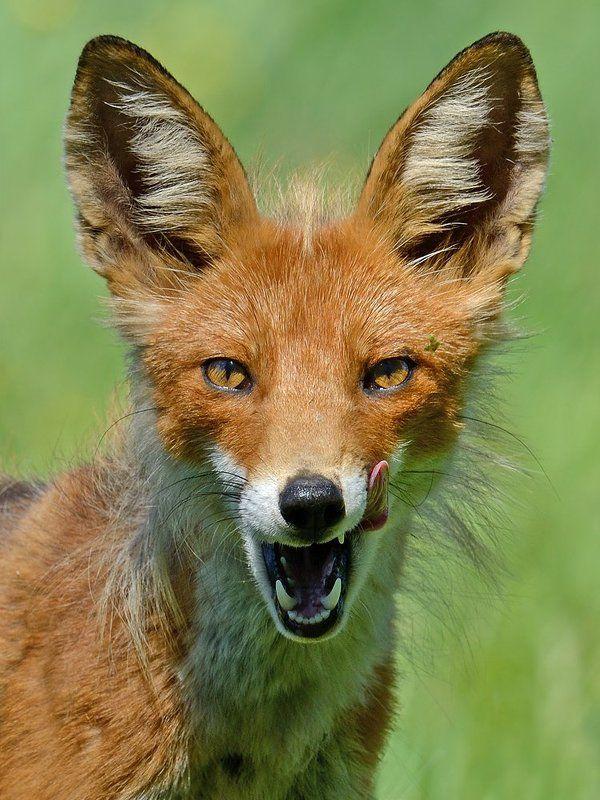 обыкновенная, лисица Лисий портретphoto preview