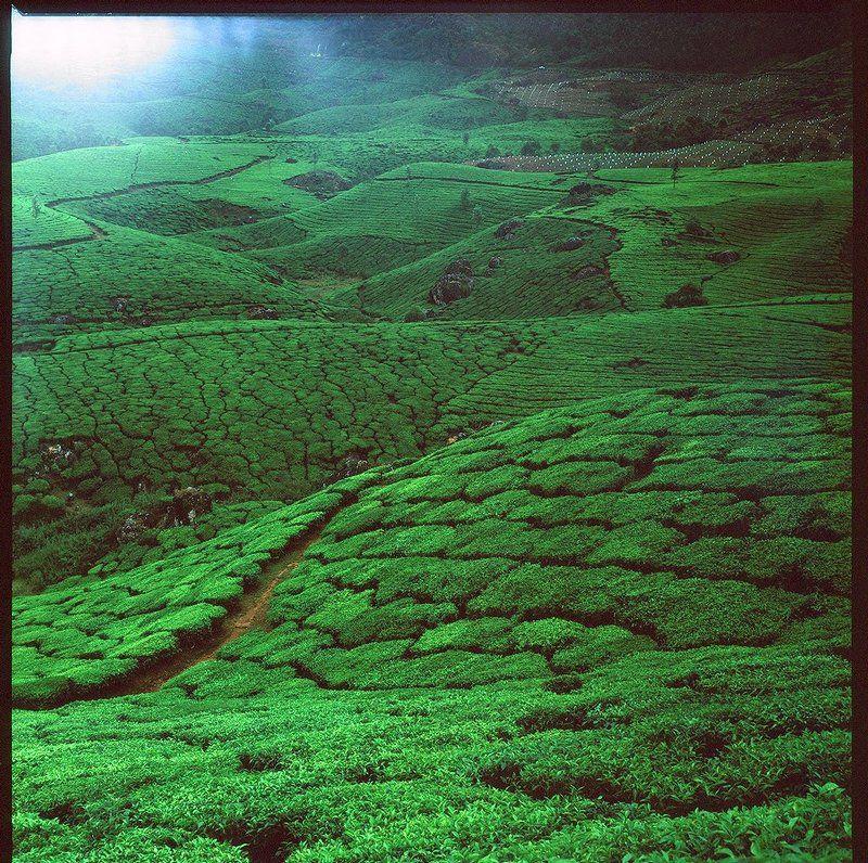 индия, munnar, чайные плантации, поля Чайные плантации Муннараphoto preview