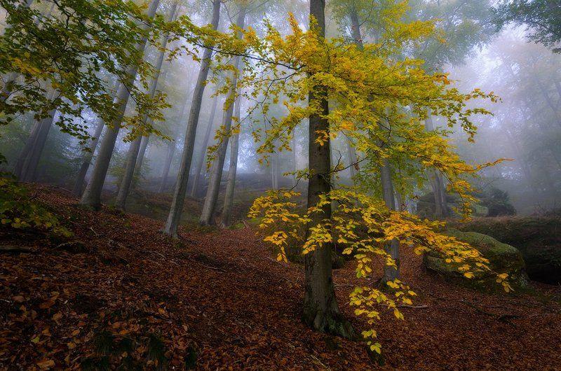 пейзаж, саксония, лес, осень, бук, туман Про осенние листьяphoto preview