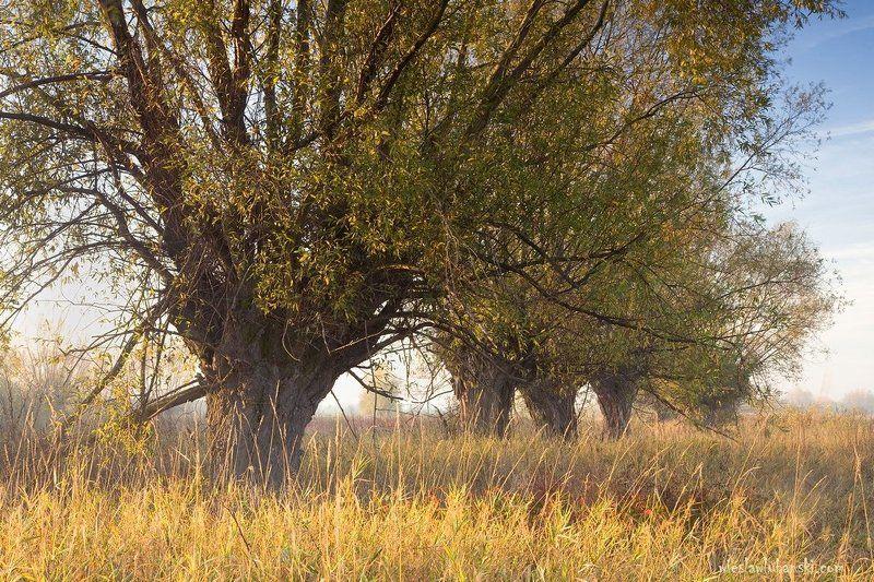 willows, lubanski willowsphoto preview