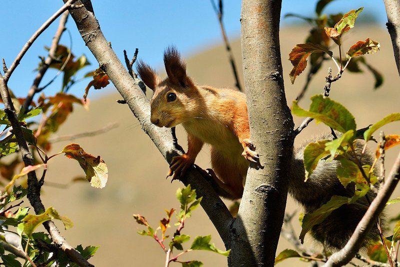 nikon, d7000, kazakhstan, nature, wildlife, squirrel, казахстан, природа, фотоохота, белка Squirrelphoto preview
