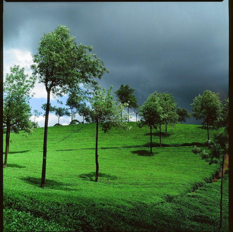 индия, плантация, чай, зелень, муннар Чайные плантации Муннараphoto preview