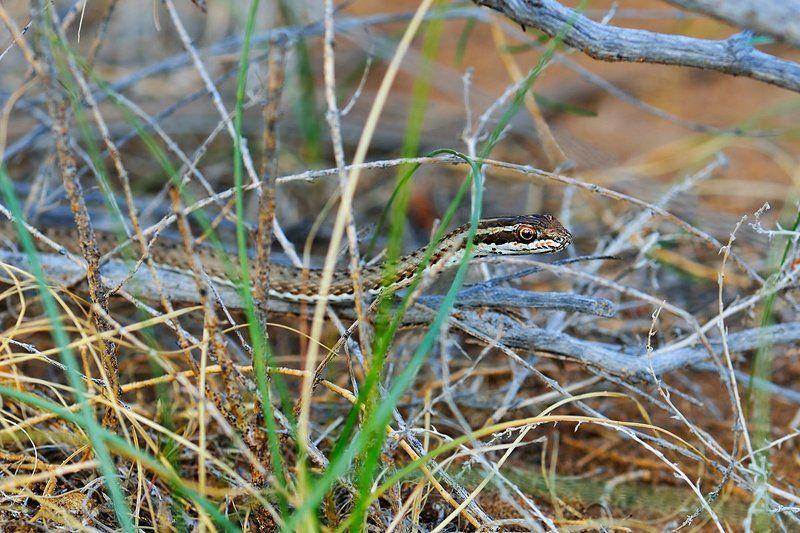 nikon, d7000, kazakhstan, psammophis lineolatus, змея-стрела, природа, казахстан, змея, wildlife, nature Змея-стрелаphoto preview