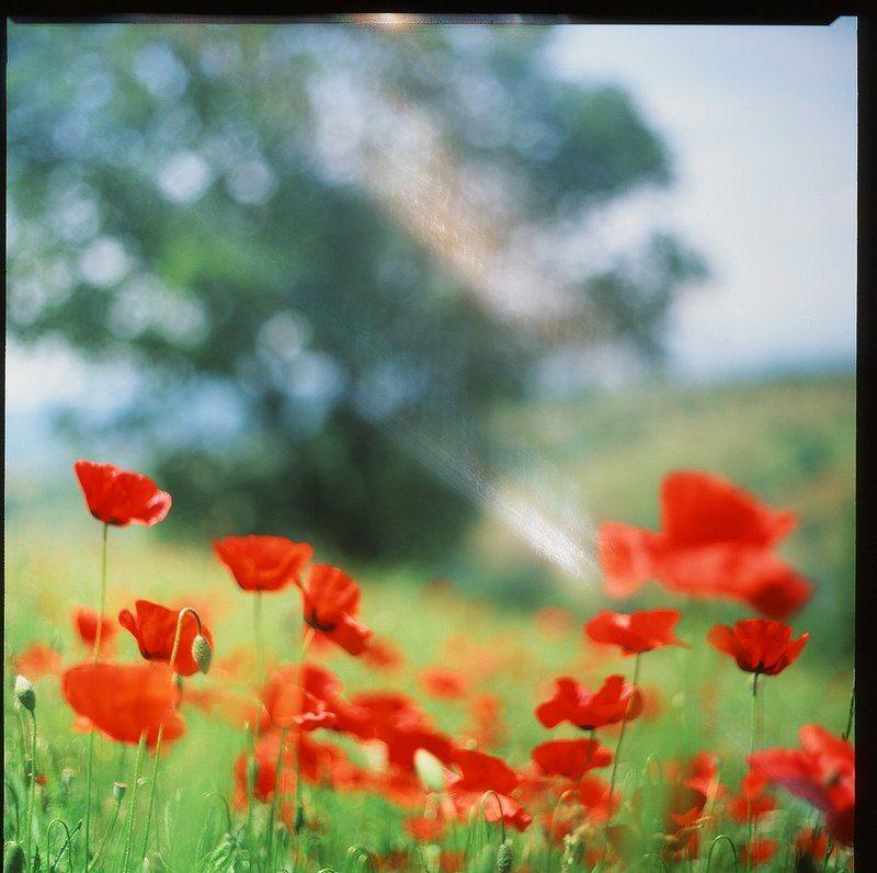 италия, тоскана, холмы, маки, цветы Тосканские макиphoto preview